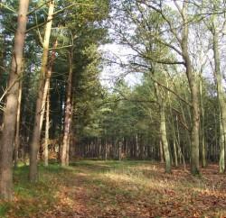 Mildenhall Woods